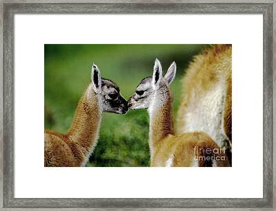 Framed Print featuring the photograph Kissing Guanacos - Torres Del Paine Np Chile by Craig Lovell