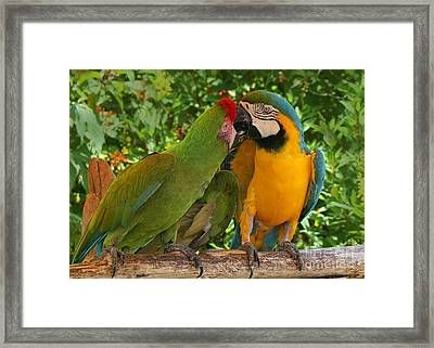 Kissy Kissy Mccaws Framed Print by Sabrina L Ryan