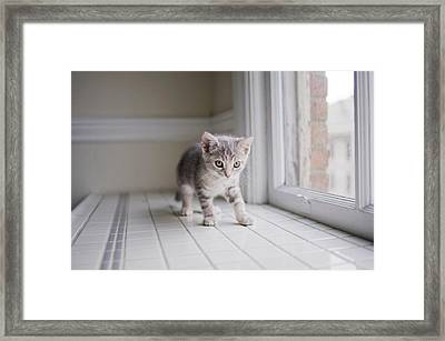 Kitten By Window Framed Print by Cindy Loughridge