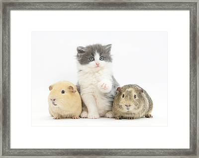 Kitten With Guinea Pigs Framed Print by Mark Taylor