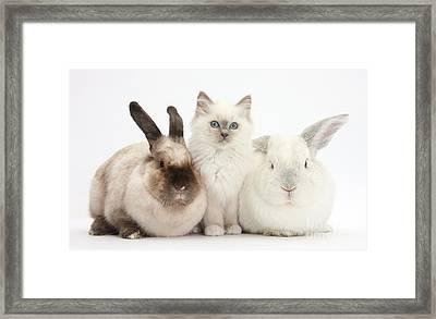 Kitten With Rabbits Framed Print