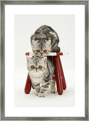 Kittens And Stool Framed Print