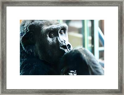 Kivu The Gorilla Framed Print by Bill Cannon
