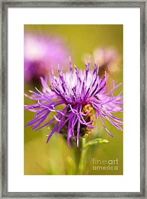 Knapweed Flower Framed Print by Elena Elisseeva