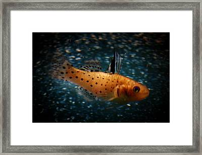 Knight Goby Framed Print by Gerald Kloss