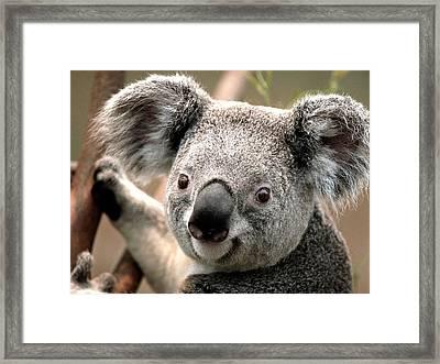 Koala Framed Print by Dhirendra  Jaiswal