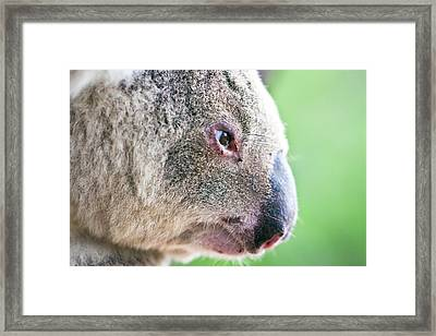 Koala Profile Portrait Framed Print by Johan Larson