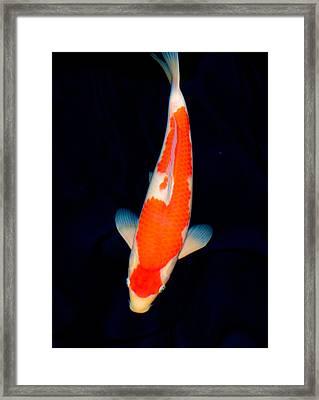 Kohaku Koi01 Framed Print