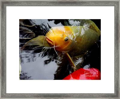 Koi 2 Framed Print