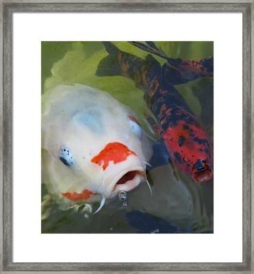 Koi Fish #1 Framed Print by Todd Sherlock