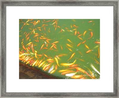 Koi Frenzy Framed Print