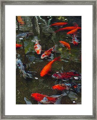 Koi Klatch Framed Print by Sandy Fisher
