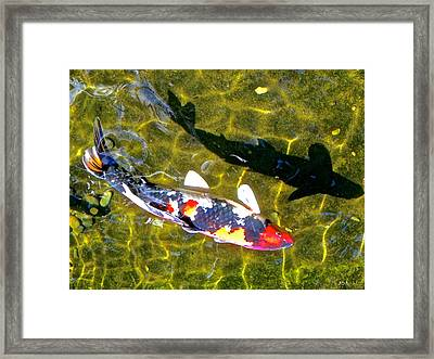 Koi With Shadow Framed Print by Brian D Meredith