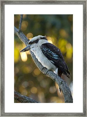 Framed Print featuring the photograph Kookaburra by Serene Maisey