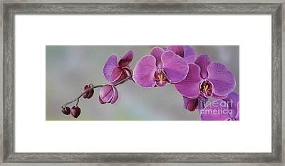 Kristin's Orchid  Framed Print