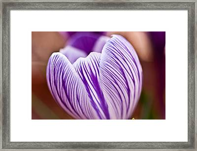 Krokus Framed Print by Ron Smith