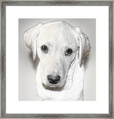 Lab Puppy Bw Sketch Framed Print by Linda Phelps