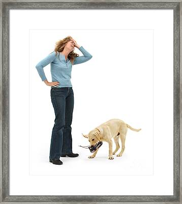 Labrador Golden Retriever Pup Chewing Framed Print by Mark Taylor