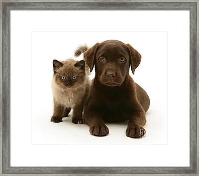 Labrador Pup And Birman-cross Kitten Framed Print