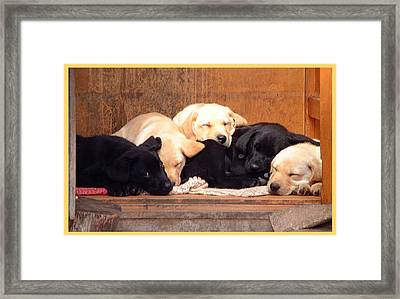 Labrador Puppies Sleeping Framed Print by Richard James Digance