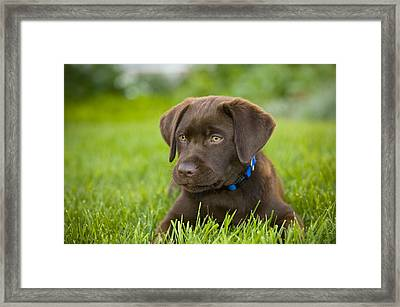 Labrador Retriever Framed Print by Corey Hochachka