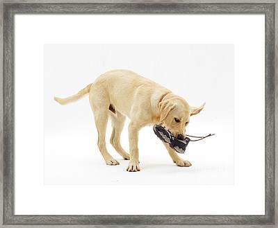 Labrador X Golden Retriever Puppy Framed Print by Jane Burton