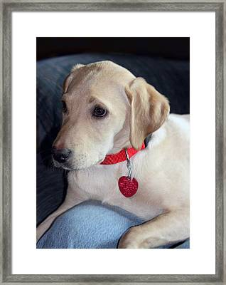 Labrodor Puppy With Red Accents Framed Print