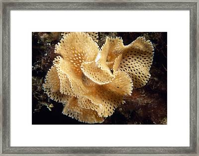 Lace Coral Bryozoan Framed Print by Alexis Rosenfeld