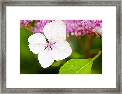 Lacecap Hydrangea Petal Framed Print by MaryJane Armstrong