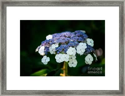Lacecap Hydrangea Framed Print by Venetta Archer