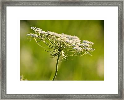 Lacy White Flower Framed Print by JD Grimes