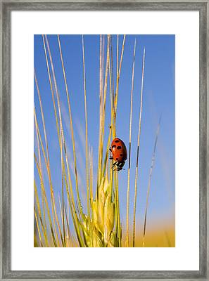 Lady Bug On A Plant Framed Print by Craig Tuttle