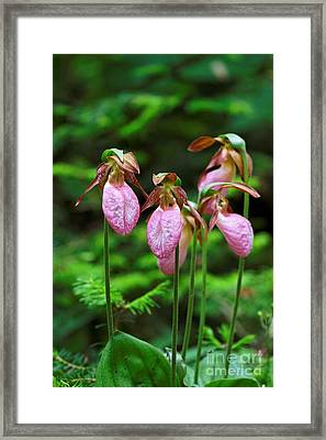 Lady Slippers Everywhere Framed Print