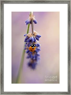 Ladybird And Lavender Framed Print by John Edwards