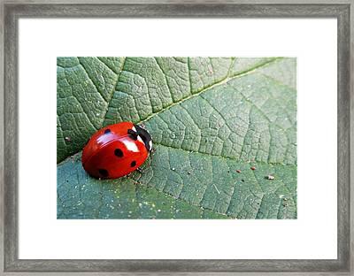 Ladybird Framed Print by Olivia Narius