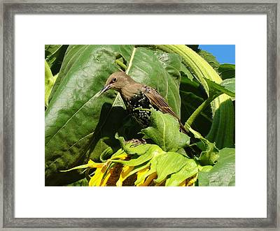 Ladybird Starling On A Sunflower Framed Print by Katie Bauer