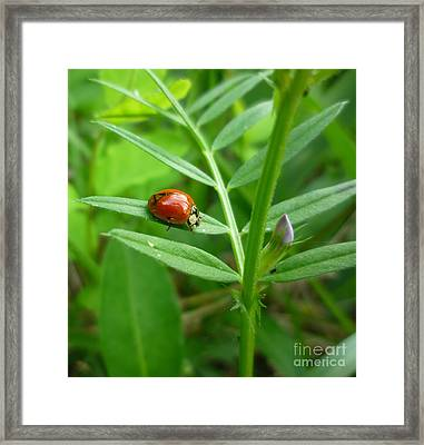 Framed Print featuring the photograph Ladybug And Bud by Renee Trenholm