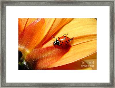 Ladybug On Orange Yellow Dahlia . 7d14686 Framed Print by Wingsdomain Art and Photography