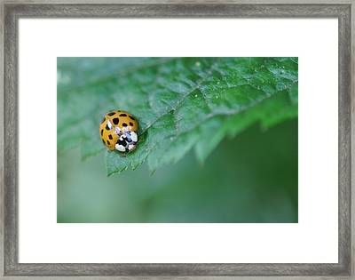 Ladybug Posing On Astilbe Leaf Framed Print