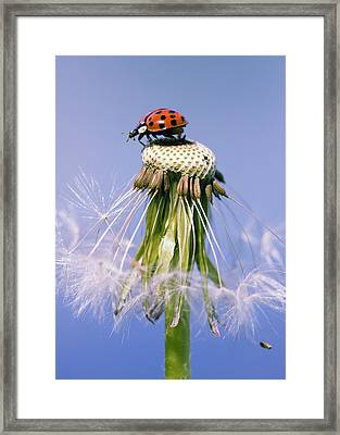 Ladybugs Dandelion Framed Print by Falko Follert