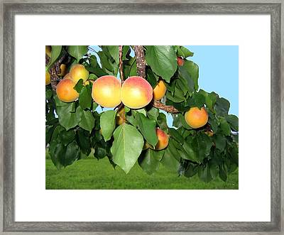 Lake Country Apricots Framed Print by Will Borden