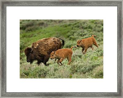 Lamar Valley Mini Stampede Framed Print by Photo by DCDavis