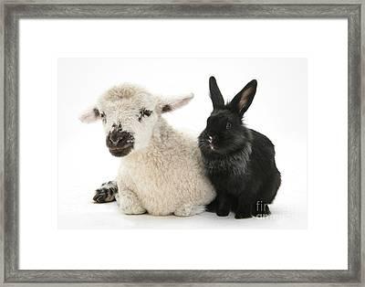 Lamb And Rabbit Framed Print