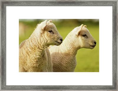 Lambs Framed Print by Ginny Battson