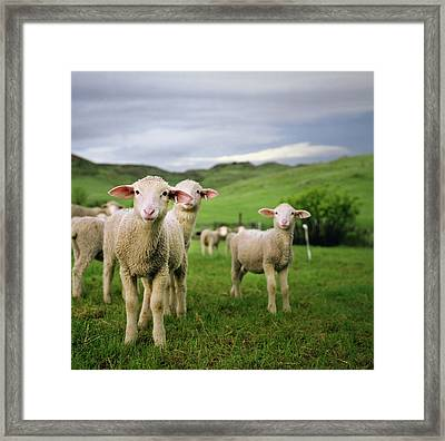 Lambs In Wyoming Framed Print by Danielle D. Hughson