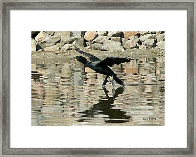Framed Print featuring the photograph Landing Cormorant by Stephen  Johnson