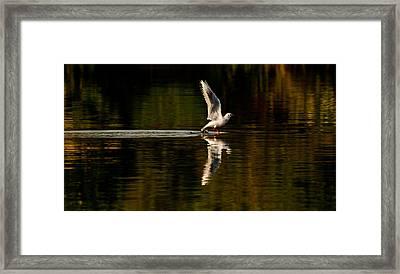 Landing Seagull Framed Print by Dawn OConnor
