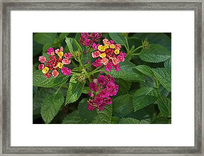 Framed Print featuring the photograph Lantana by Joseph Yarbrough
