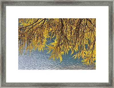Larch Tree, Lake Silvaplana, Silvaplana, Engadin, Canton Of Graubunden, Switzerland Framed Print by Raimund Linke
