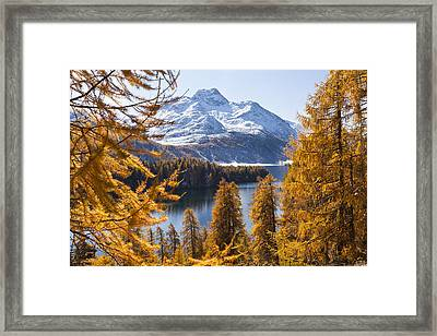 Larch Trees By Lake Sils And Piz De La Margna, Engadin, Switzerland Framed Print by F. Lukasseck